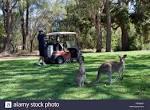 A kangaroo and joey at Tewantin Noosa Golf Club, Sunshine Coast ...