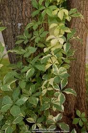 Photo Of The Leaves Of Aralia Eleutherococcus Sieboldianus