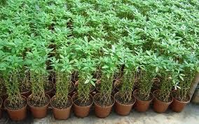 Hasil gambar untuk tanaman pachira money tree