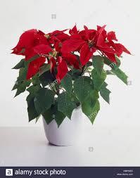 Weihnachtsstern Weihnachten Blume Oder Winter Rose