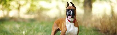 boxer dog breed photos pictures