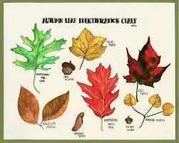 Fall Leaf Chart Autumn Leaf Identification Chart Opals Art