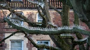 architecture people. Pigeon Spikes That Have Been Attached Two Trees Which Overhang The Parking Area Outside A Posh Architecture People