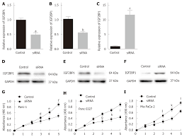 Insulin Like Growth Factor 2 Mrna Binding Protein 1 Promotes