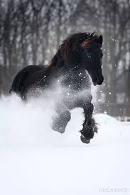 black horses in snow. Contemporary Horses Big Black Horse Turning A Drift Into Powder Beneath Its Hooves This Was  Part Of My Past Now Itu0027s Dream To Black Horses In Snow 6