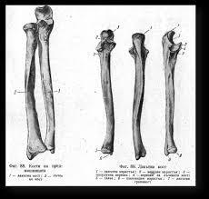 КОСТИ НА СВОБОДНИЯ ГОРЕН КРАЙНИК Реферат от Биология Страница  88 имат формата и структурата на дългите кости Лакътната е разположена медиално към страната на малкия пръст а лъчевата латерално към страната на