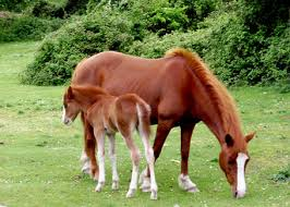 Image result for new forest ponies