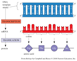 Topic 2 7 Dna Replication Transcription And Translation