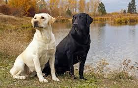 Wallpaper dog, black and white, Black ...