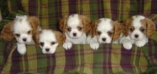 our first litter of cavalier king charles spaniel puppies the a litter was born in 1989 back then cavaliers were only registered with the cavalier king