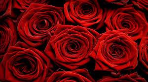 nice beautiful look hd free wallpaper red rose