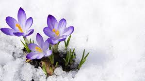 Image result for easter crocus in the snow images