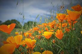 poppy bloom at mount diablo state park