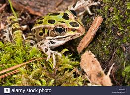 Parts Of A Frog The Northern Leopard Frog Rana Pipiens Is Native To Parts Of