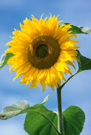 Sunflower Growing Chart Sunflower American Giant F1 Seeds