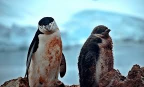 real baby penguins pictures.  Pictures Pin It On Pinterest Throughout Real Baby Penguins Pictures