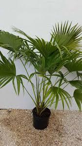 fan palm trees. chinese fan palm tree trees