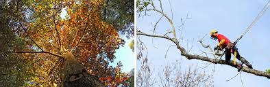 Tree Risk Assessment Fairfax Va Out On A Limb Tree Service
