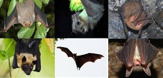 Bat Species Chart Bat Species Bat Facts And Information