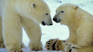 no image blog jpg Studentnis org A polar bear cub travelling on it     s mother     s back