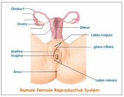 female reproductive system explained with diagrams  reproductive    female reproductive system in detail