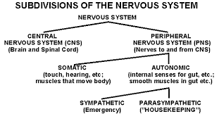 Cns Pns Chart The Cns And Pns The Main Divisions Of The Nervous System