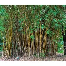 Long Bamboo Plant, बांस के पौधे, बम्बू प्लांट - Shree Usha Kiran Nursery,  Godawari | ID: 16791953873