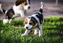 beagle puppies. Modren Beagle In Beagle Puppies AKC Marketplace