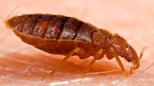 23+ Baby Bed Bugs Look Like Images