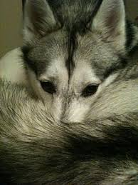siberian husky warming its nose with its l