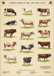 Beef Identification Chart Common Breeds Of Beef And Dairy Cows Poster 36 Inch X 24 Inch 20 Inch X 13 Inch