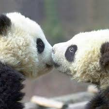 pandas kissing moments panda and giant cute s kisses dog cat pictures baby kiss french