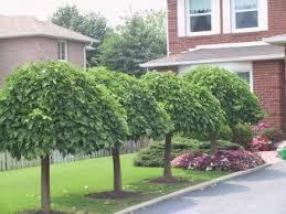 Mulberry Tree No Fruit