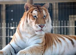 siberian tiger vs bengal tiger. Brilliant Siberian Differences Between The Bengal Tiger And Siberian   In Color Appearance For Vs L