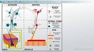 peripheral nervous system definition function parts video lesson transcript study
