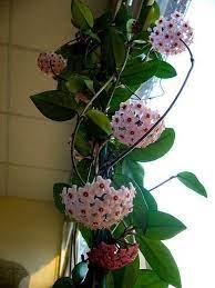 A planta tem como características folhas carnosas e espessas em. Flor De Cera Hoya Carnosa Flores E Folhagens Plants Hoya Plants Unusual Plants