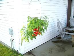 upside down tomato plant hanging plants gardening planter bucket to dry u