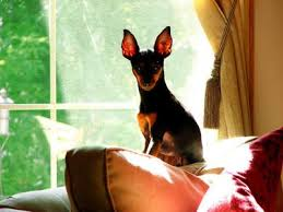 Manchester Terrier Size Chart Petmd Mobile Breeds