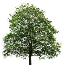 Japanese Maple Growth Chart Tree Maple Leaf Sugar Maple Japanese Maple Oak Png