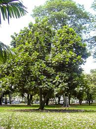 Trees Of Maui Uses Stories Banyan Koa Sandalwood Coconut
