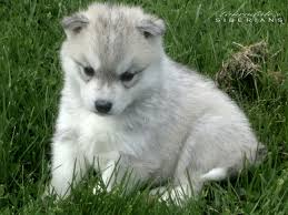 white and grey husky puppy. Fine Puppy Grey U0026 White Siberian Husky Puppy Throughout And