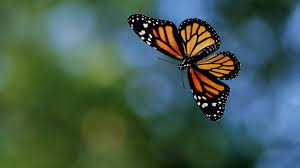 fliegender Schmetterling hd ...