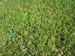 carpet grass. centipede grass maintenance and planting tips carpet