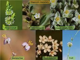 Factsheet -Molluginaceae