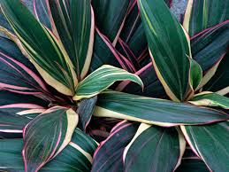 Cordyline Design A Line Burgundy A Care And Growing Guide For The Cordyline Plant