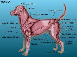 Canine Muscle Chart Canine Muscle Structure Anatomy Of The Dog Dog Index Dog