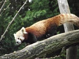 Dessin De Panda Avec Bambou Superbe Galerie S Dessin Colorier Pandal