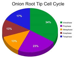 Cell Cycle Pie Chart Mitosis Ap Biology Online Lab Notebook