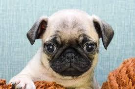 pug puppies. Unique Puppies To Pug Puppies