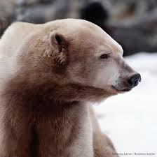 grolar bear size grizzly polar bear hybrids spotted in canadian arctic sciencenordic